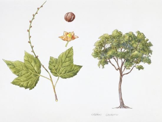 Croton Goudotii Plant with Flower, Leaf and Fruit--Giclee Print