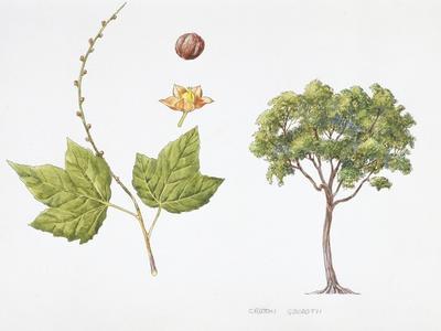https://imgc.artprintimages.com/img/print/croton-goudotii-plant-with-flower-leaf-and-fruit_u-l-pw2c0b0.jpg?p=0