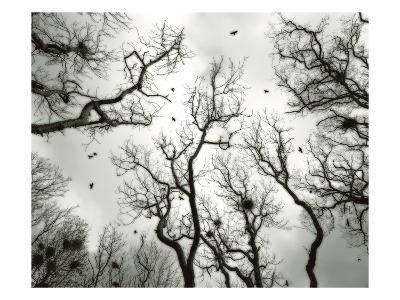 Crow Rookery-Jamie Cook-Premium Photographic Print