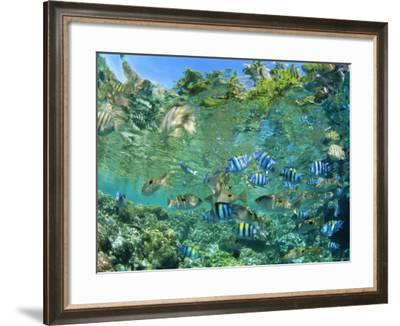 Crowd of Tropical Reef Fish Including Scissortail Sergeants and Grunts, Solomon Islands-Louise Murray-Framed Photographic Print