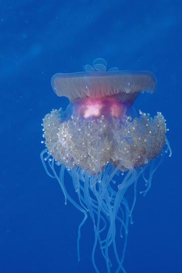 Crown Jellyfish (Netrostoma Setouchina), Red Sea, Egypt.-Reinhard Dirscherl-Photographic Print