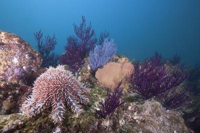 Crown-Of-Thorns Starfish (Acanthaster Planci)-Reinhard Dirscherl-Photographic Print