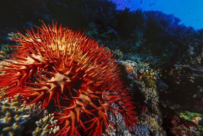 Crown-Of-Thorns Starfish at Daedalus Reef, Red Sea, Egypt-Ali Kabas-Photographic Print
