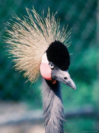https://imgc.artprintimages.com/img/print/crowned-crane-balearica-pavonia-zoo-mendon-ma_u-l-p50er40.jpg?p=0