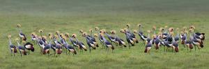 Crowned Crane (Balearica Regulorum) Mating