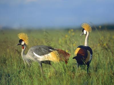 Crowned Cranes, Kenya, Africa-Tim Fitzharris-Photographic Print
