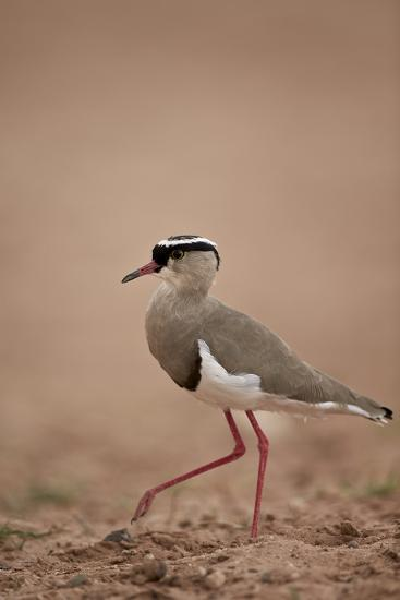 Crowned Plover (Crowned Lapwing) (Vanellus Coronatus)-James Hager-Photographic Print