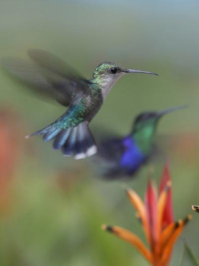 Crowned Woodnymph Hummingbirds Female and Male-Tim Fitzharris-Photographic Print
