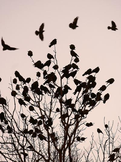 Crows Fly Over a Tree Where Others are Already Camped for the Night at Dusk in Bucharest Romania--Photographic Print