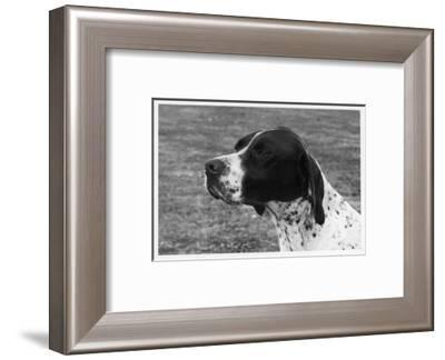 Crufts, 1958, Pointer--Framed Photographic Print