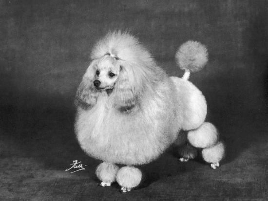 Crufts, 1966, Poodle--Photographic Print