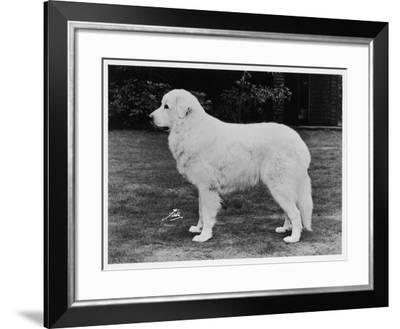Crufts Winner 1970--Framed Photographic Print