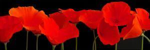 Vermilion Poppies by Crum