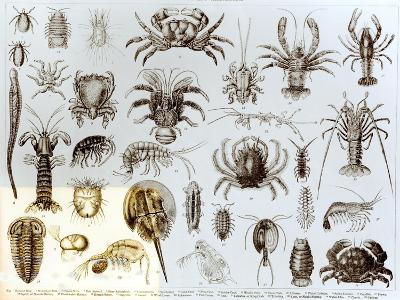 Crustacea and Arachnida--Giclee Print