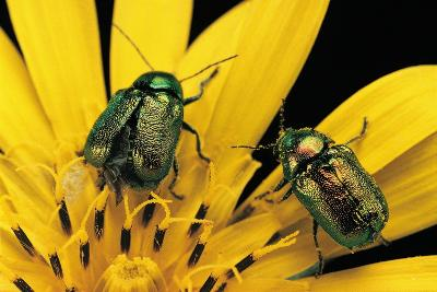 Cryptocephalus Hypochaeridis (Green Leaf Beetle)-Paul Starosta-Photographic Print