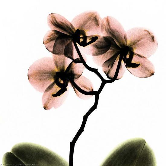 Crystal Flowers X-ray, Orchid-Albert Koetsier-Art Print