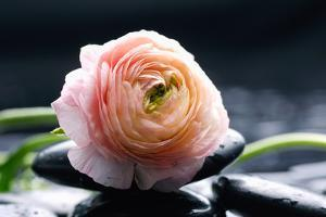 Ranunculus with Therapy Stones by crystalfoto