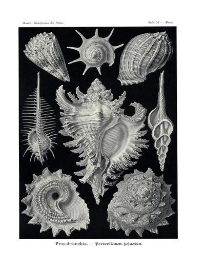Ctenobranchia, 1899-1904--Giclee Print