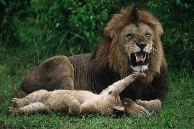Cub Playing with Male Lion-DLILLC-Photographic Print