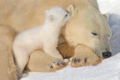 Cub Whispering to Mother-Howard Ruby-Photographic Print