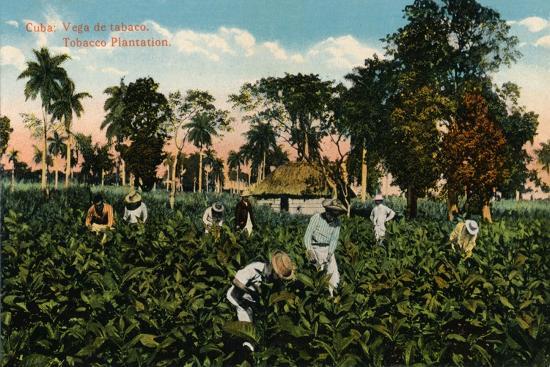 Cuba: Vega de tabaco. Tobacco Plantation, c1900-Unknown-Giclee Print