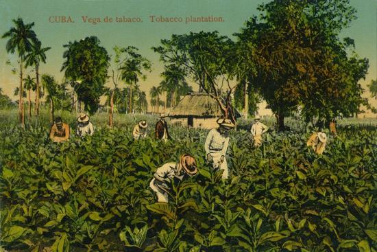 Cuba. Vega de tabaco. Tobacco plantation, c1920s-Unknown-Giclee Print