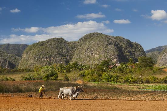 Cuba, Vinales. a Farmer Plows His Field with Brahma Cows-Brenda Tharp-Photographic Print