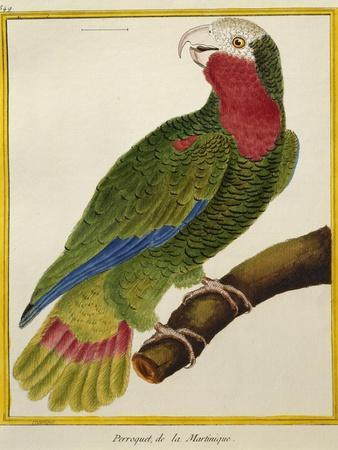 Cuban Parrot (Amazona Leucocephala)--Giclee Print