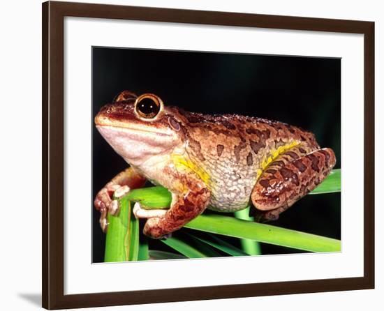 Cuban Tree Frog, Florida, USA-David Northcott-Framed Photographic Print