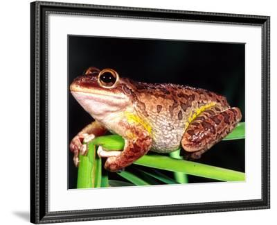 Cuban Tree Frog, Florida, USA-David Northcott-Framed Photographic Print
