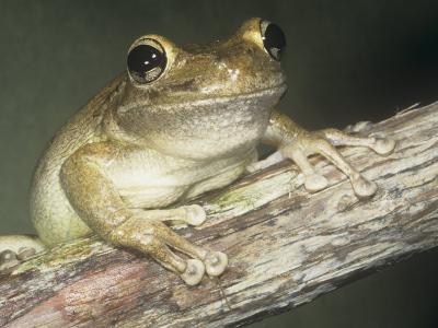 Cuban Treefrog, Osteopilus Septentrionalis, Cuba and an Introduced Species in Florida, USA-Joe McDonald-Photographic Print