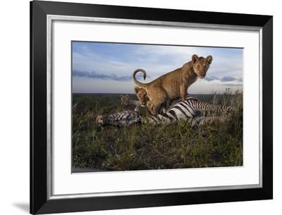 Cubs of the Simba East pride eat a zebra hunted by adult females.-Michael Nichols-Framed Photographic Print