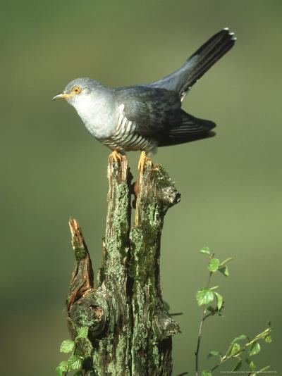Cuckoo, Cuculus Canorus Male Perched on Post Derbyshire, UK-Mark Hamblin-Photographic Print