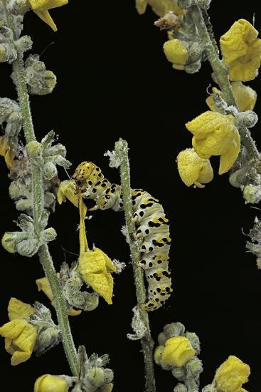 Cucullia Verbasci (Mullein Moth) - Caterpillar Feeding on Mullein-Paul Starosta-Photographic Print