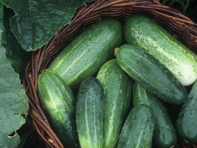 Cucumber Harvest in a Basket, Fancipak Variety (Cucumis Sativus)-David Cavagnaro-Photographic Print