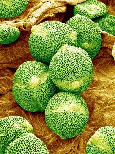 Cucumber Pollen, SEM-Susumu Nishinaga-Photographic Print