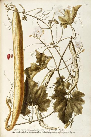 Cucurbitaceae--Giclee Print