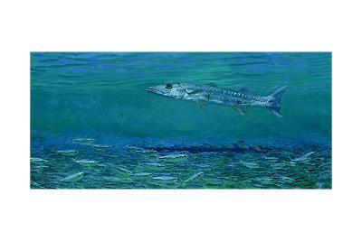 Cuda, King of Sardines: Sphyraena Argentea, a Pacific Barracuda over a Blanket of Future Meals-Stanley Meltzoff-Giclee Print