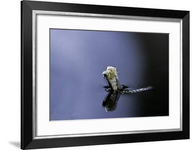 Culex Pipiens (Common House Mosquito) - Emerging (A4)-Paul Starosta-Framed Photographic Print