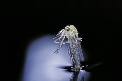 Culex Pipiens (Common House Mosquito) - Emerging (B6)-Paul Starosta-Photographic Print