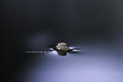Culex Pipiens (Common House Mosquito) - Emerging (D2)-Paul Starosta-Photographic Print