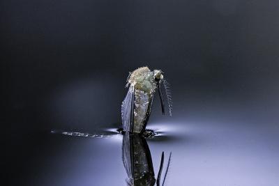 Culex Pipiens (Common House Mosquito) - Emerging (D5)-Paul Starosta-Photographic Print
