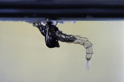 Culex Pipiens (Common House Mosquito) - Emerging from under the Water Surface-Paul Starosta-Photographic Print