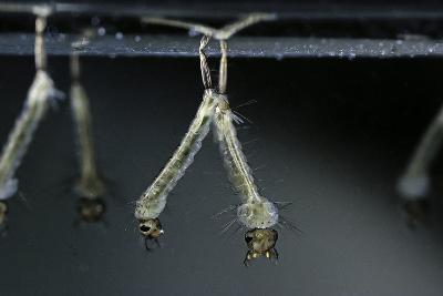 Culex Pipiens (Common House Mosquito) - Larvae-Paul Starosta-Photographic Print