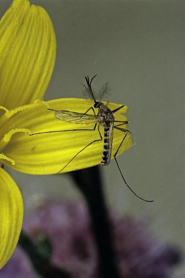 Culex Pipiens (Common House Mosquito) - on a Flower-Paul Starosta-Photographic Print