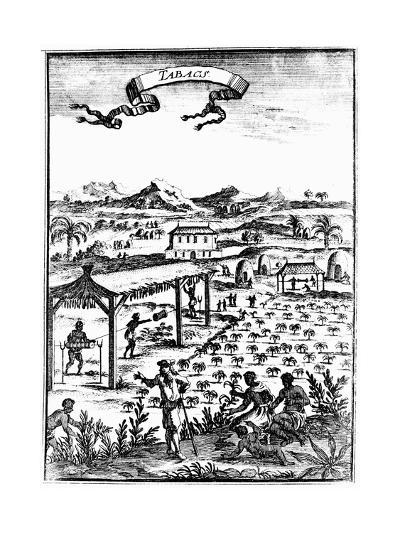 Cultivating and Curing Tobacco in West Indies Using Slave Labour, 1686--Giclee Print