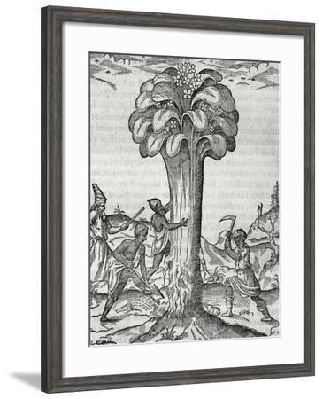 Cultivation of Rhubarb, Engraving by Andre Thevet--Framed Giclee Print