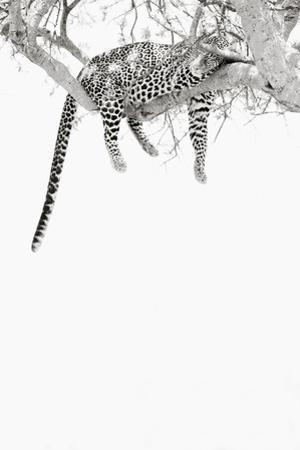 A Leopard Sleeps on the Branch of a Tree in the Maasai Mara National Reserve, Kenya by Cultura Travel/Philip Lee Harvey