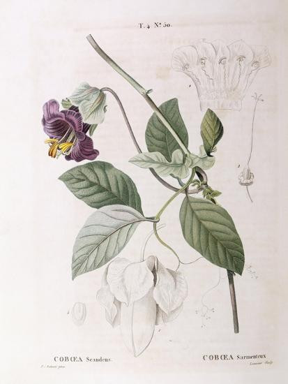 Cup and Saucer Vine (Cobaea Scandens)--Giclee Print