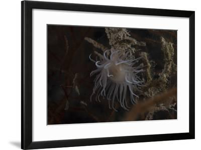 Cup Coral Polyps Hang under a Ledge on a Reef in Fiji-Stocktrek Images-Framed Photographic Print
